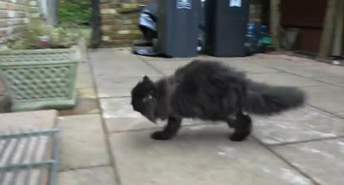 Гифка с котом на задних лапах
